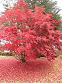 Acer palmatum (Japanese Maple), Toccoa, Georgia.jpg