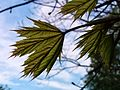 Acer platanoides (13962927202).jpg