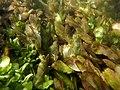 Ache nodiflore (Helosciadium nodiflorum) dans les Baillons (rivière) aout 2017a 04.jpg
