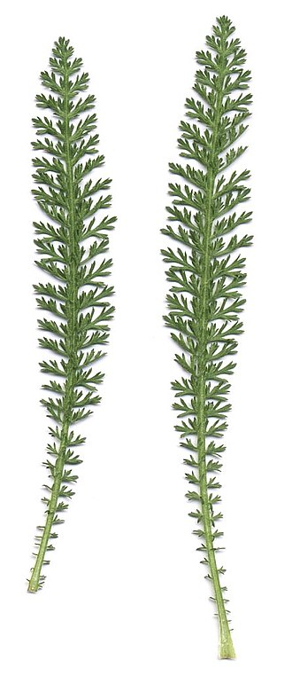 Achillea millefolium - Yarrow leaves