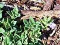 Acinos alpinus subsp. meridionalis Flor 2009-7-25 SierraNevada.jpg