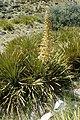 Aciphylla aurea kz7.jpg