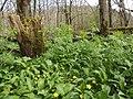 Aconitum napellus plant (05).jpg