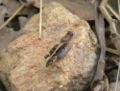 Acorypha unicarinata female.jpg