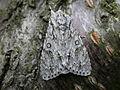 Acronicta aceris (2939148111).jpg