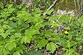 Actaea spicata plant (07).jpg