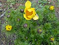 Adonis vernalis 2015-04-16 211.jpg