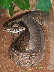 Female Rock Python