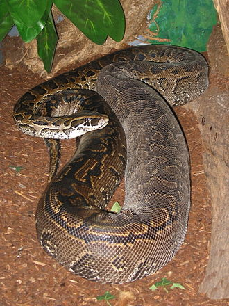 African rock python - Adult female P. sebae, northern subspecies (note the thick body)