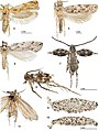 Adults-and-larval-cases-4--Erechthias-minuscula--forewing-length-4-mm-Florida-USA-5--Erechthias-ascensionae--forewing-le.jpg