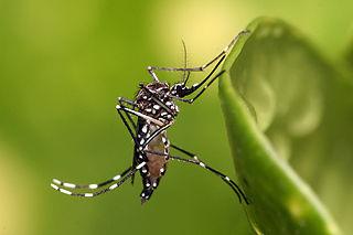 carrier for dengue, chikungunya, zika viruses