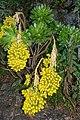 Aeonium arboreum holochrysum - La Palma.jpg