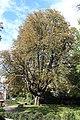 Aesculus hippocastanum on Square Robert-Brasseur Luxembourg City 2017-09.jpg