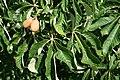 Aesculus x mutabilis 'Induta' JPG1FeFr.jpg