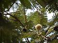 African Locust tree (4262937468).jpg