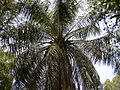 African Oil Palm (4592111368).jpg