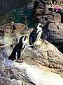 African Penquins at New England Aquarium 01.jpg