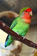 Agapornis roseicollis -Peach-faced Lovebird pet on perch.jpg