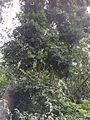 Agathis australlis-2-bsi-yercaud-salem-India.JPG