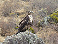 Aguila en auarahua.jpg