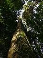 Ailanthus Kurzii.jpg