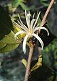 Alangium Salvifolium 14.JPG