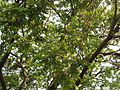 Albizia saman (Raintree) (17).jpg