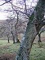 Alder, Ash, Birch, Ash - geograph.org.uk - 294201.jpg