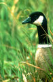 Aleutian Canada Goose.jpg