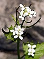 Alliaria petiolata SCA-4729k.jpg