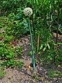 Allium cepa 001.JPG