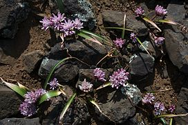 Allium cratericola.jpg