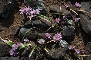 Allium cratericola - Image: Allium cratericola