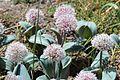 Allium karataviense Regel, (Amaryllidaceae)-1F.JPG