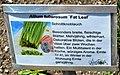 Allium tuberosum Fat Leaf.jpg
