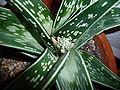 Aloe variegata 07.JPG
