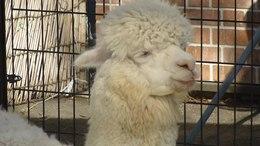 File:Alpaca-tobudobutsuen-2012.ogv