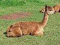 Alpaca in The Lakes - geograph.org.uk - 490507.jpg