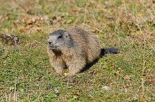 Alpenmurmeltier Marmota marmota of Rätikon 5.JPG