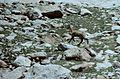 Alpes-Maritimes Saint-Martin-Vesubie Lacs Bessons Chamois - panoramio (6).jpg