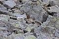 Alpine Marmot - Marmota marmota (15407700491).jpg