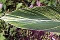Alpinia zerumbet 14zz.jpg