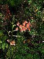 Alstroemeria ligtu variegated - Flickr - peganum.jpg