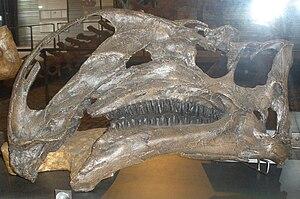 Hühteeg Svita - Cast of the holotype skull of Altirhinus