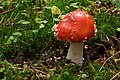 Amanita muscaria (29548187033).jpg