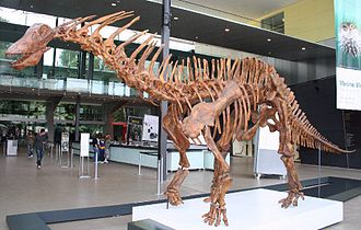Amargasaurus - Amargasaurus skeleton cast in the Melbourne Museum foyer.