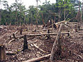 Amazon slash and burn agriculture Colombia South America.jpg