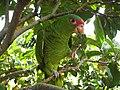 Amazona pretrei -Rio Grande do Sul -Brazil-8.jpg