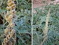 Ambrosia arborescens (9095778995).jpg