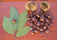 American Chestnut.JPG